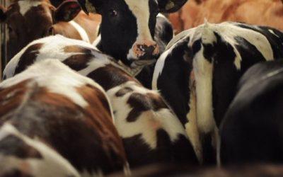 Onnelliset siat ja lehmät?